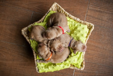 litter J - golden females - day 3