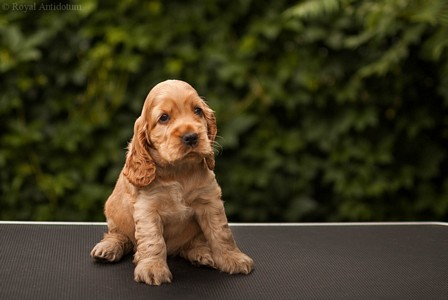 litter J - golden female [violet ribbon] - 6 weeks
