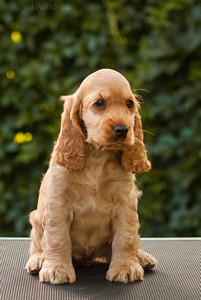 litter J - golden female [red ribbon] - 8 weeks