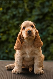 litter J - golden female [violet ribbon] - 8 weeks