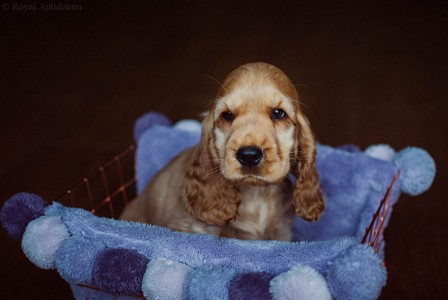 litter J - golden female [orange ribbon] - 8 weeks